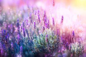 organic lavender face oil